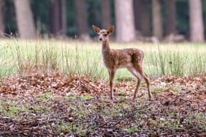 Dulmen, Germany. A tiny fawn is still shaky on its little legs. The resident large herd of fallow deer has grown and more than 20 fawns curiously explore their forest and meadowland surroundings