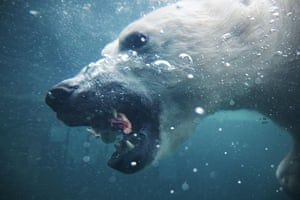 A polar bear (Ursus maritimus) dives for a piece of meat at the Budapest Zoo and Botanical Garden. Cases of polar bears killing and eating each other are on the rise in the Arctic as melting ice and human activity erode their habitat, according to a Russian expert.