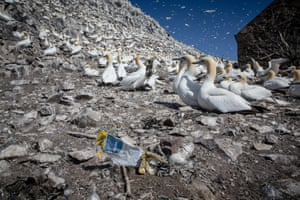Gannets with plastic waste at Bass Rock in Scotland.