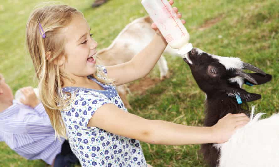 bottle feeding goat kids, Cotswold Farm Park