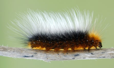 A garden tiger moth caterpillar. Changes in habitat caused by intensive farming have been blamed for the decline of insect populations.