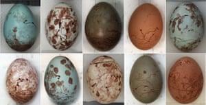 Prinia eggs