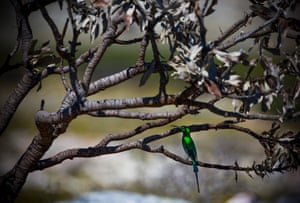 A sugarbird sits on the branches of a burned wild fynbos bush at Table Mountain national park
