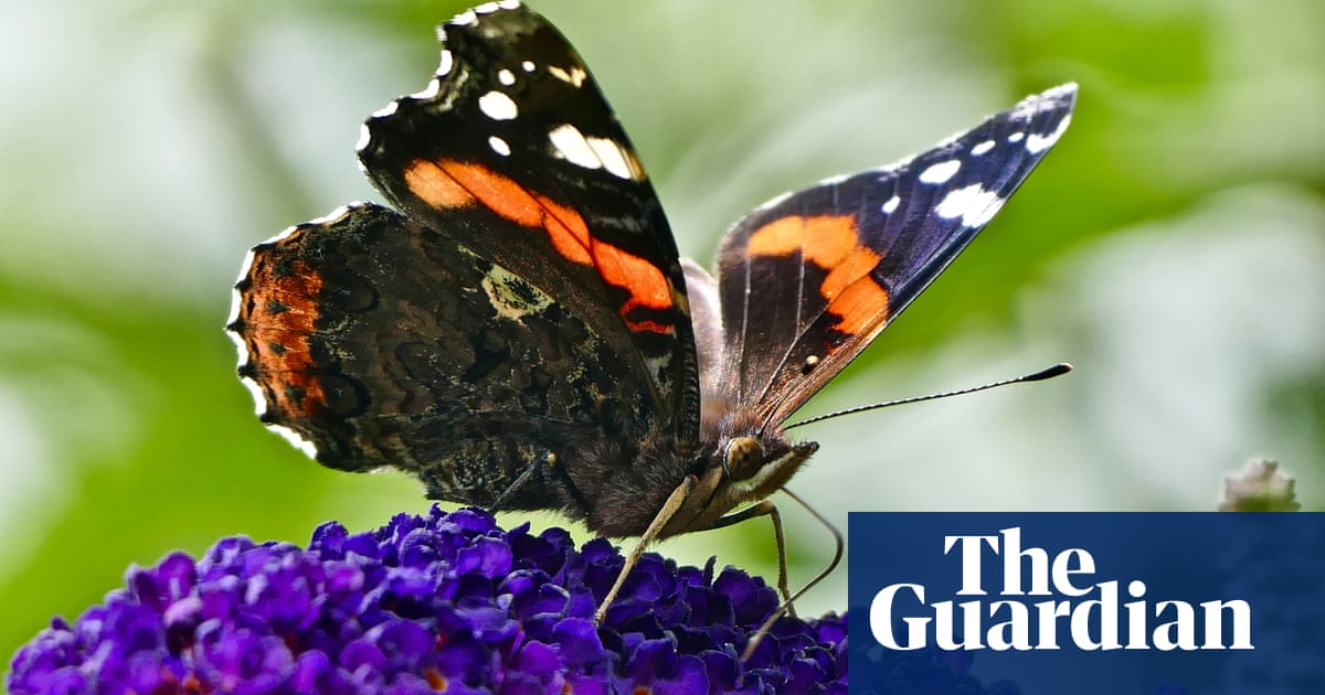 Butterflywatch: red admirals reap benefits from woodland management