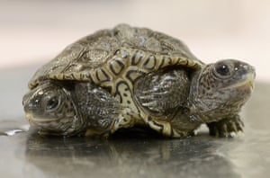 Massachusetts, USA two-headed diamondback terrapin is weighed at the Birdsey Cape Wildlife Centre in Barnstable where the two-week old animal is being treated.