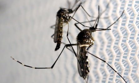 Proponents of the trial say only male Aedes aegypti mosquitoes, which do not bite humans, will be released.