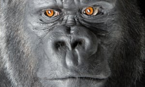 The taxidermy of Bobby the western lowland gorilla will go on display at the National Museum of Scotland