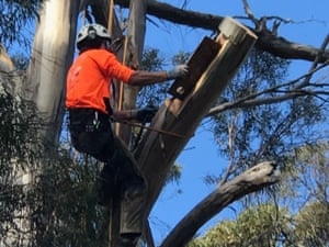 Arborists carve hollows into Tasmanian peppermint trees in the hope endangered swift parrots will nest in them.