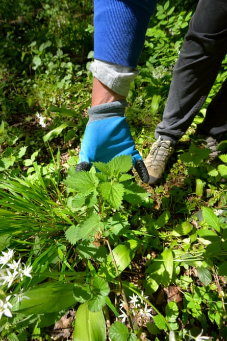 A woman in gloved hands picks nettles with gloves.