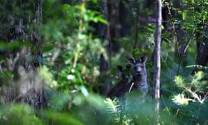 Kangaroos in bushland