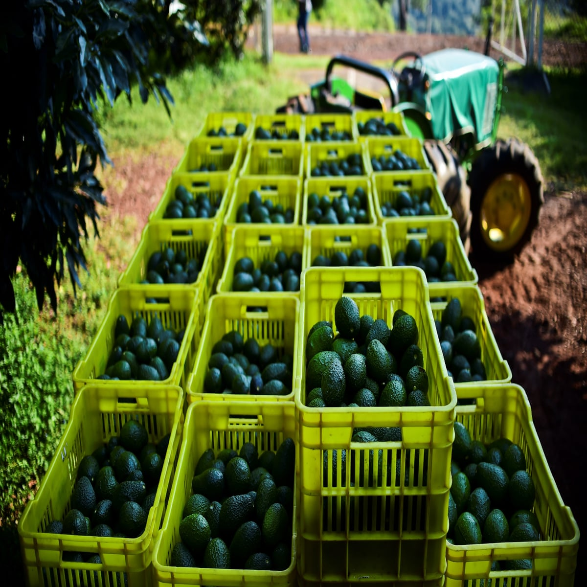 Mexico border shutdown may cause US to run out of avocados in 3 weeks ile ilgili görsel sonucu