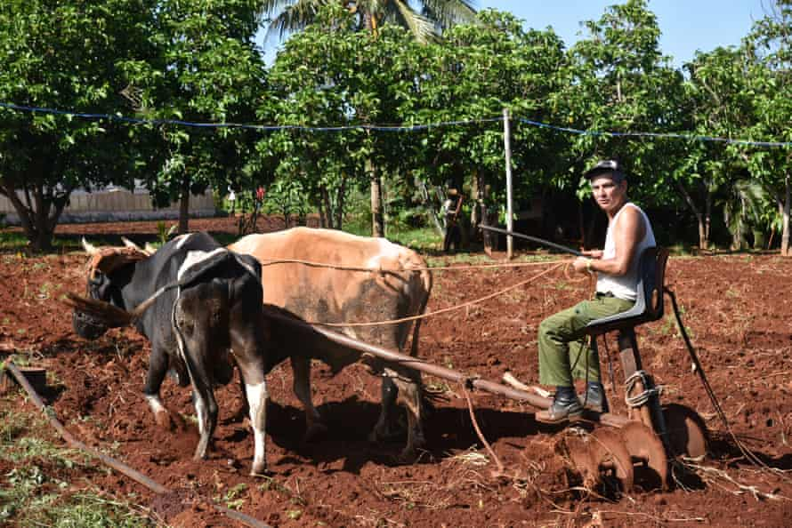 Man and beasts prepare soil for planting at the Alamar organic farm in Havana. Cuban agriculture was highly mechanised during the alliance with the Soviet Union.
