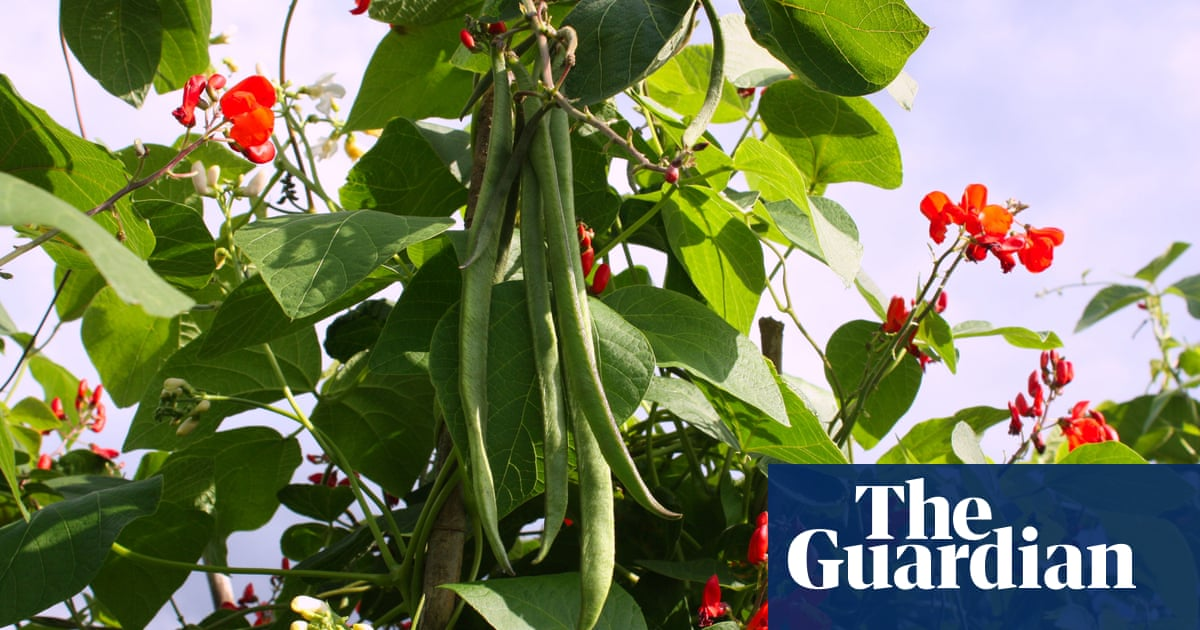 7d8b3393d How to grow beans | Alys Fowler | Life and style | The Guardian
