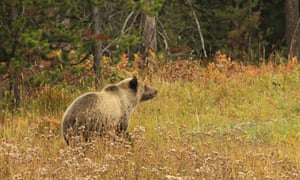 A grizzly bear in Bridger-Teton national forest