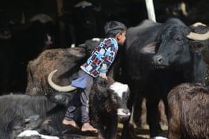 Najaf, Iraq. A child jumps over a buffalo near the Euphrates River