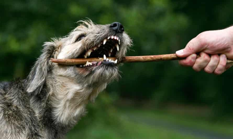 A dog biting a stick, showing its shearing carnassial teeth.
