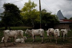 Emaciated horses