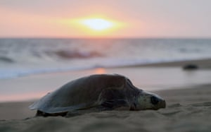 An olive ridley sea turtle arrives to spawn in the Ixtapilla beach.