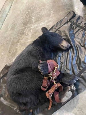 An American black bear lies tranquilised and restrained after making its way into a Ralph supermarket in Los Angeles, California.