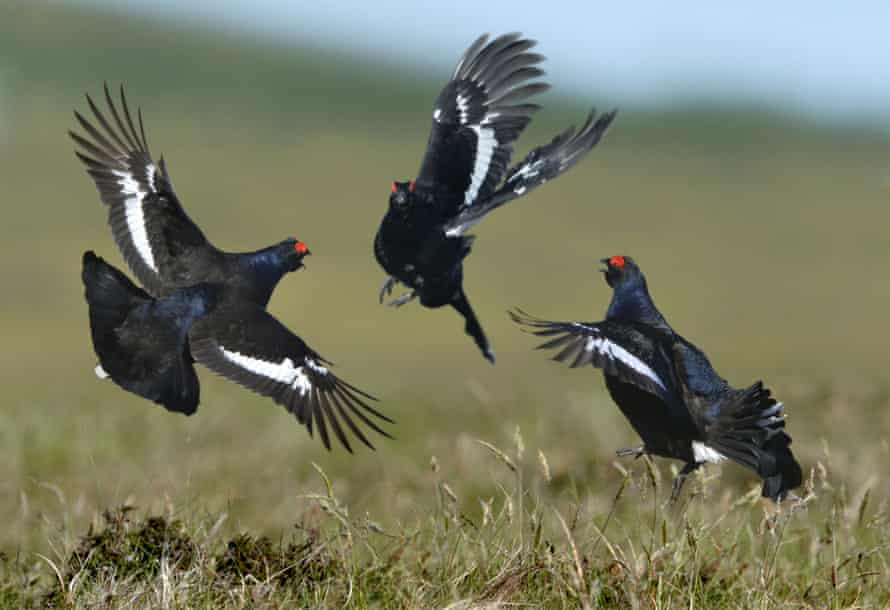 Male black grouse display their prowess at their arena.