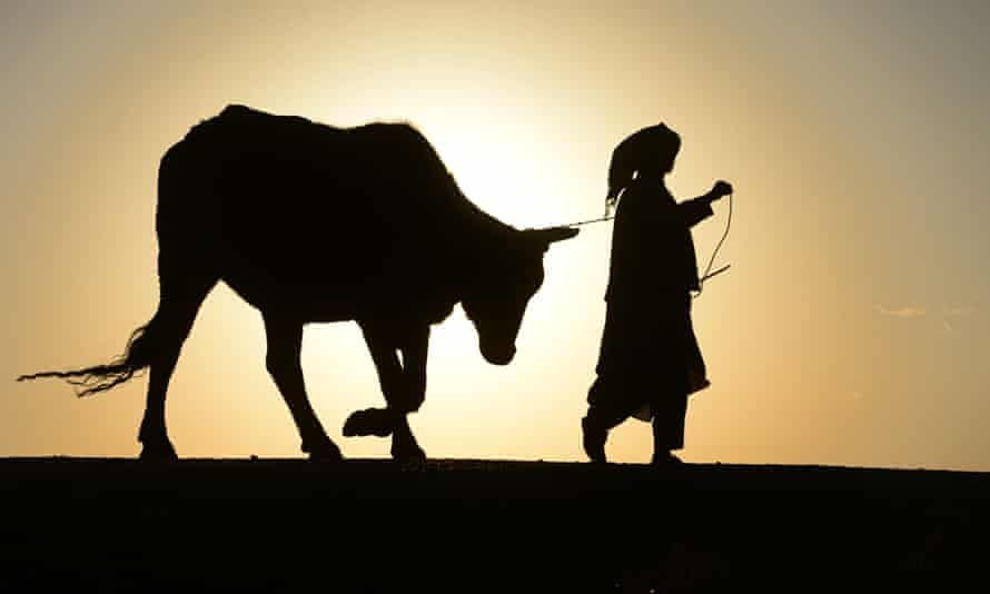 An Afghan man walks with his cow during sunset in Herat