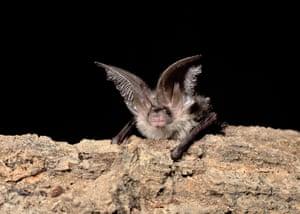 a long-eared bat