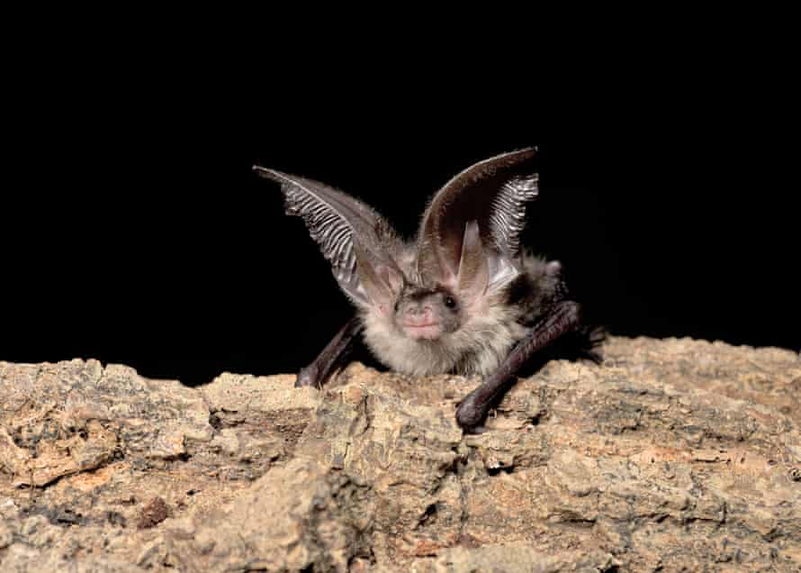 A young male brown long-eared bat. A new £60 sensor is giving researchers a richer insight into the lives of the elusive mammals.