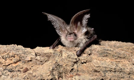 A young, male, brown long-eared bat. A new £60 sensor is giving researchers a richer insight into the lives of the elusive mammals.