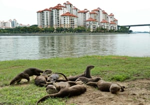 A group of wild otters sand-bathing on the beach along Kallang basin in Singapore.