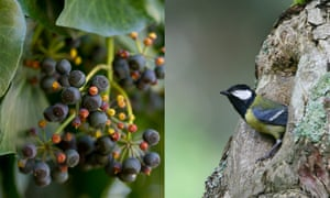Ivy berries and a blue tit