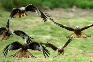 Red kites descend on Gigrin farm red kite feeding centre in Rhayader, Wales