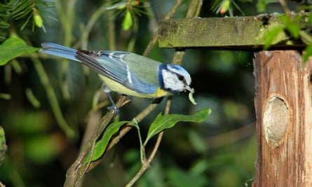 Blue tit approaching a nest box entrance with food