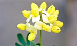 Coronilla valentina subsp. glauca 'Citrina'.