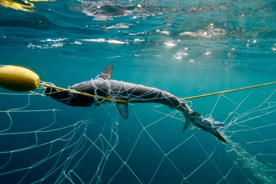 Endangered baby hammerhead shark that tangled and drowned in a shark net off the Gold Coast, Queensland, Australia on 4 October 2018