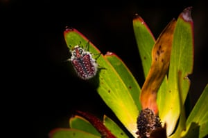 A beetle climbs on a fynbos leaf in Table Mountain national park in Cape Town, South Africa