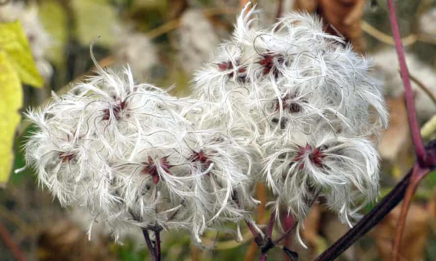 <em>Clematis vitalba </em>or traveller's joy, a plant of the hedgerows.
