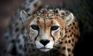 A male Asiatic cheetah in captivity