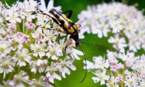 A harlequin longhorn beetle on hogweed, Wenlock Edge.