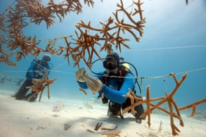 en Nedimyer and Stephanie Roach of Coral Restoration Foundation attach newly fragmented corals to a line nursery in their nursery east of Key Largo, Florida. May 2012