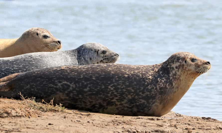 Harbour (common) and grey seals bask in the morning sunshine near Ramsgate in Kent as ZSL (Zoological Society of London) conducts its annual seal census to build a comprehensive picture of the population of adult seals and pups born during the breeding season in the Thames Estuary.