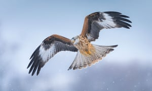 A red kite in flight.