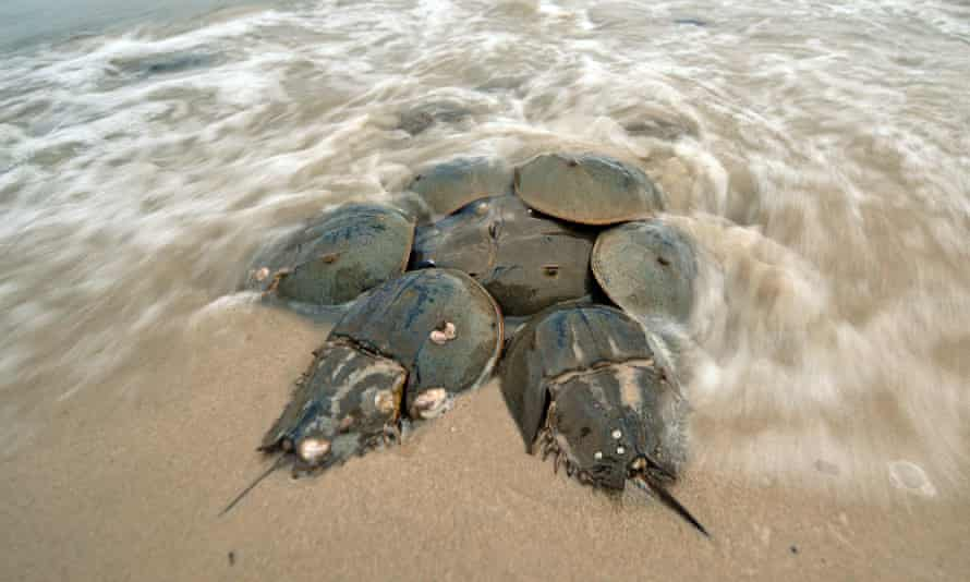 Horseshoe crabs mating on the shore in NewJersey, US