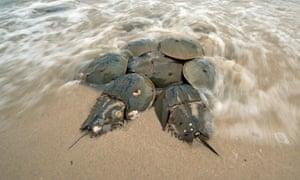 Atlantic horseshoe crabs spawning, Delaware Bay, New Jersey, USA.