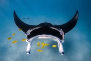 Manta ray gliding across the sandy flats on the inside of the Ningaloo reef with juvenile golden trevally