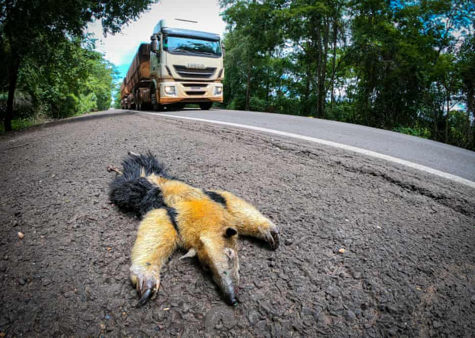 A giant anteater on the 'highway of death', the BR-262 in Brazil