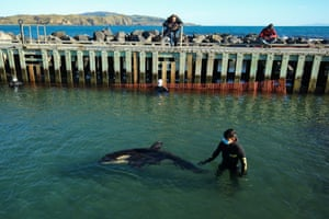 Toa the orca is monitored by a volunteer at Plimmerton Boating Club in Wellington, New Zealand. The stranded male orca calf was found caught in the rocks Sunday 11 July. People from Department of Conservation and volunteers from the Orca Research Trust have been taking shifts to care for the calf since it separated from its pod, as the search for the killer whale's pod continues. The local Maori iwi (tribe), Ngati Toa, have named the killer whale calf Toa, meaning 'brave' or 'strong'