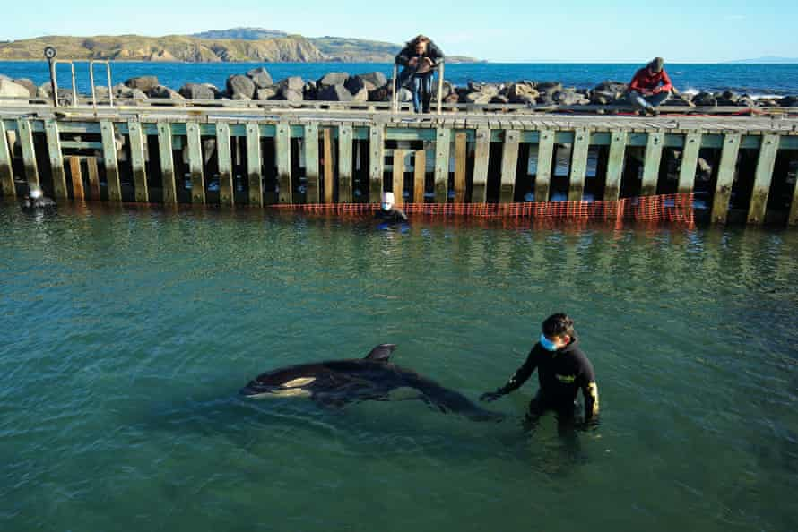 Toa the orca is monitored by a volunteer at Plimmerton Boating Club.