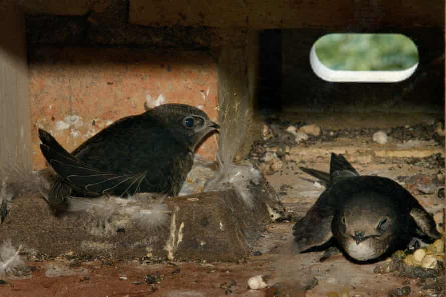Common swift chicks wait in a nest brick to be fed by a parent that has just returned after foraging, Cambridge