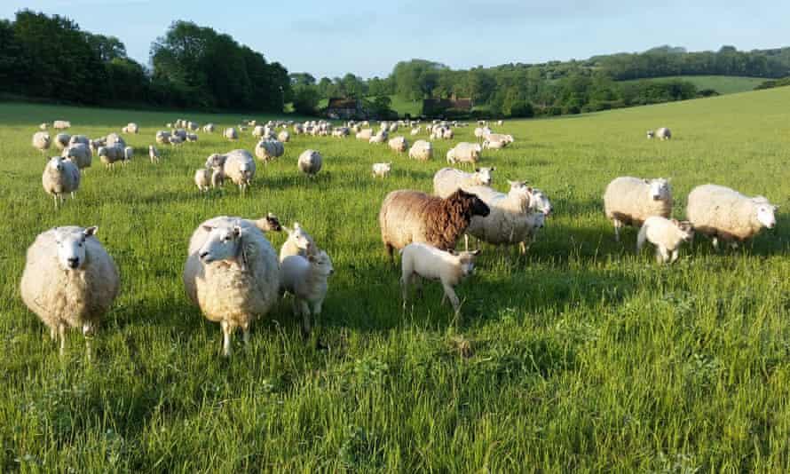 Sheep on Saddlescombe Farm