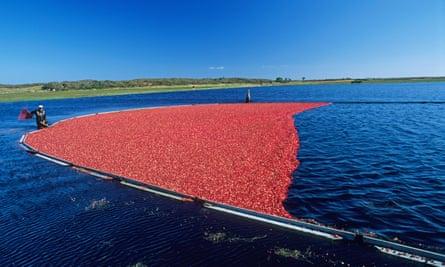 Crimson tide … harvesting cranberries in Nantucket Massachusetts.
